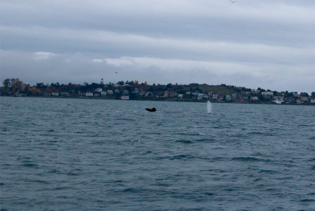 Humpback Whales feeding outside of Victoria's Harbour