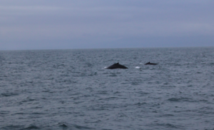 Why you should go Whale Watching in November