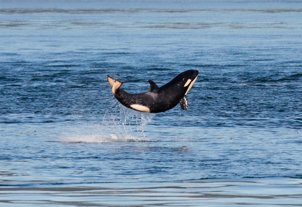EAgle Wing Tours Breaching Orca