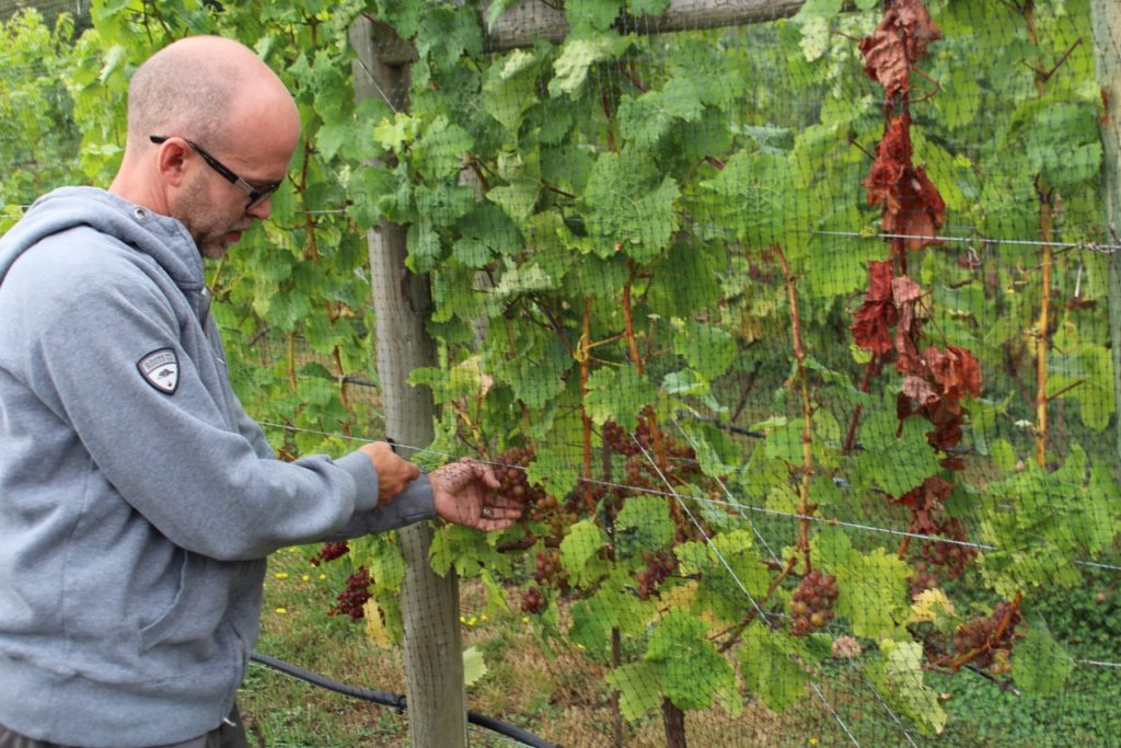 Layne Craig proving the success of the project by testing the nearly ripe grapes at 40 Knots Vineyard and Estate Winery