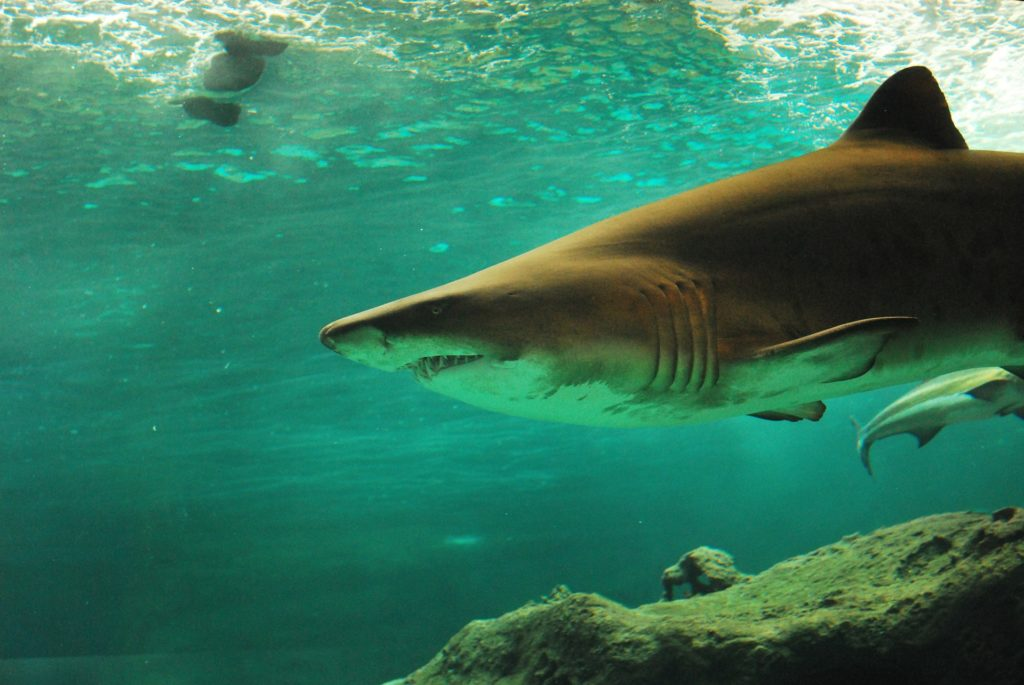 shark photo credit: Merone for Pixabay